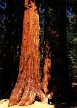 SequoiaAndMan